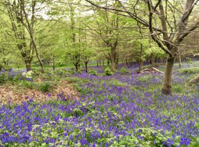 Spring camping among the bluebells at The Secret Campsite Beech Estate
