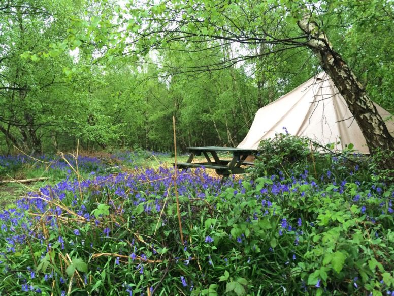 A bell tent among the bluebells during spring camping at The Secret Campite Beech Estate