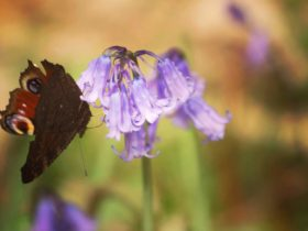 Butterfly and bluebell_Beech Estate 2019_Rachel Buckley (1)
