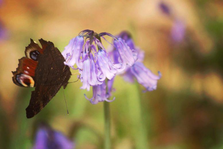 Butterfly and bluebell_Beech Estate 2019_Rachel Buckley (1)