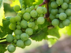 Grapes on the vine - Sussex vineyards now offer winery tours and tastings