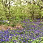 Bluebells at the Sussex Campsite