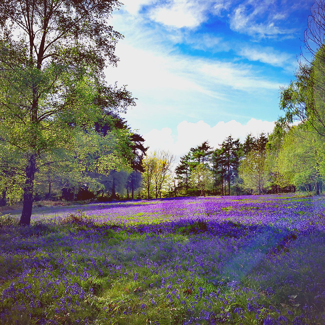 Bluebells in the camping meadow at Beech Estate Campsite in Sussex