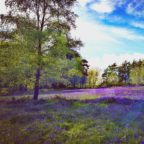 The bluebell meadow at Beech Estate Campsite