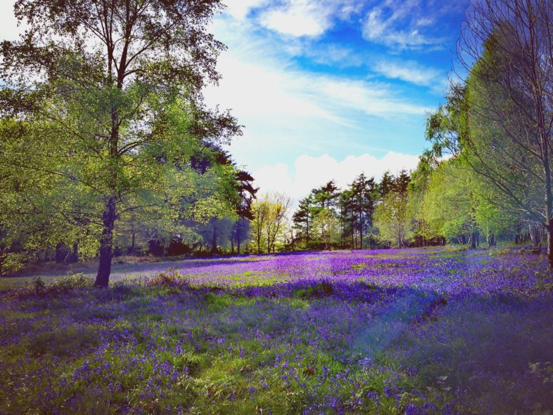 Spring camping in the bluebells at Sussex campsite
