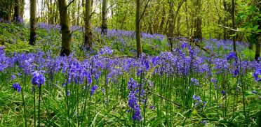 Camping among bluebells