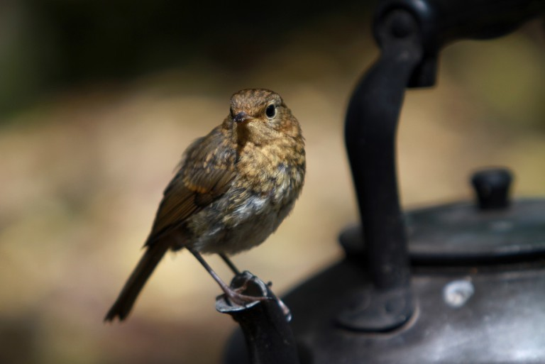 A young robin spotted at The Secret Campsite Wild Boar Wood on a spring glamping trip