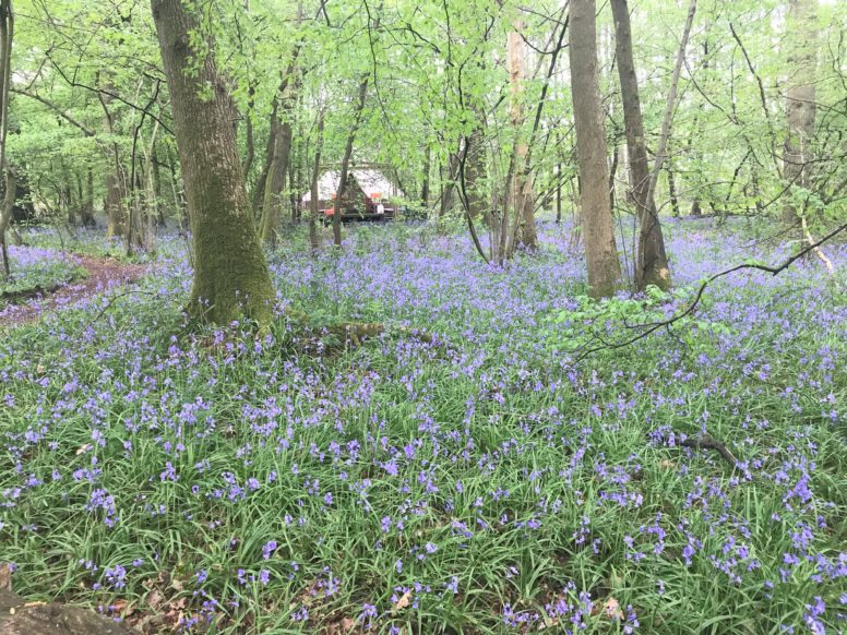 Bell tent among the bluebells in Sussex