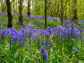 Bluebells Woods in Sussex