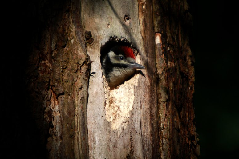 A young Great Spotted Woodpecker.
