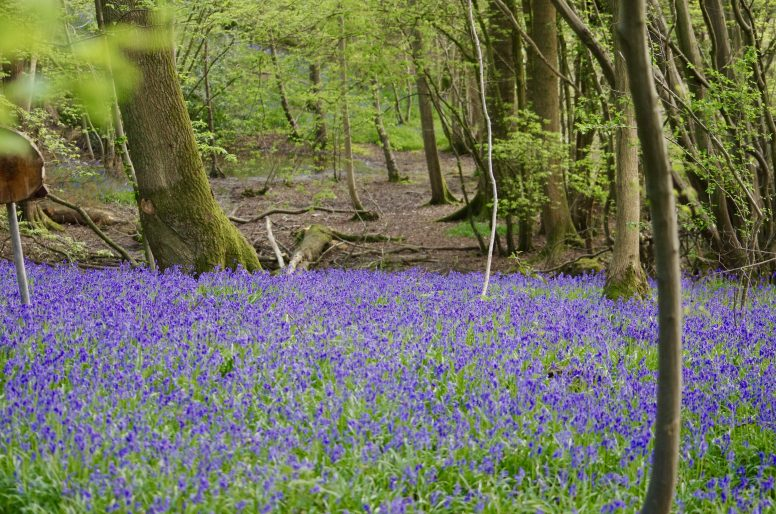 Bluebells at the Woodland Campsite - Eco Camp at Wild Boar Wood
