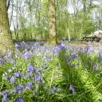 Bell tent in the bluebells in Sussex Glampsite