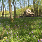 Bell tent in bluebells at Wild Boar Wood campsite in Sussex